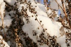 Το τραχούρι κάλεσε επίσης estragon κάτω από το χιόνι Στοκ φωτογραφία με δικαίωμα ελεύθερης χρήσης
