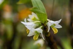 Το τραχύς-χειλικό Dendrobium που ανθίζει στην επαρχία ο της Mae Hong Sorn Στοκ εικόνα με δικαίωμα ελεύθερης χρήσης