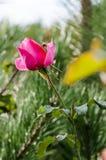 Το τριαντάφυλλο και η μέλισσα Στοκ Εικόνα