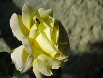 Το τριαντάφυλλο και η μέλισσα Στοκ εικόνα με δικαίωμα ελεύθερης χρήσης