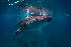 το τρισδιάστατο ψαλίδισμα πέρα από το μονοπάτι δίνει το λευκό φαλαινών καρχαριών σκιών Στοκ Φωτογραφίες