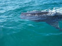 το τρισδιάστατο ψαλίδισμα πέρα από το μονοπάτι δίνει το λευκό φαλαινών καρχαριών σκιών Στοκ Εικόνες