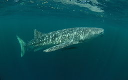 το τρισδιάστατο ψαλίδισμα πέρα από το μονοπάτι δίνει το λευκό φαλαινών καρχαριών σκιών Στοκ Εικόνα