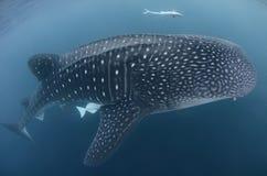 το τρισδιάστατο ψαλίδισμα πέρα από το μονοπάτι δίνει το λευκό φαλαινών καρχαριών σκιών Στοκ εικόνα με δικαίωμα ελεύθερης χρήσης