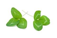 το τριφύλλι βγάζει φύλλα Στοκ φωτογραφία με δικαίωμα ελεύθερης χρήσης