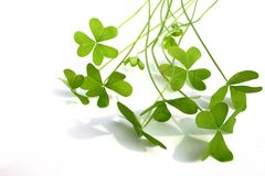 το τριφύλλι βγάζει φύλλα Στοκ Φωτογραφίες