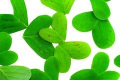 το τριφύλλι βγάζει φύλλα Στοκ Εικόνα