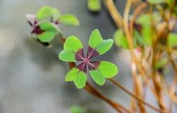 Το τριφύλλι τεσσάρων φύλλων, πράσινο βγάζει φύλλα trefoil, τυχερός στενός επάνω συμβόλων Στοκ Εικόνες