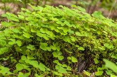 Το τριφύλλι φυτεύει κοντά επάνω την άποψη Στοκ εικόνα με δικαίωμα ελεύθερης χρήσης