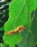 Το τριχωτό όμορφο Caterpillar που βόσκει το φύλλο, Sivasagar, Assam στοκ φωτογραφία