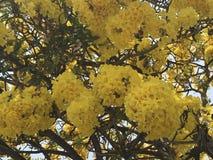 Το τροπικό κίτρινο λουλούδι βαμβακιού ή το βουτύρου δέντρο φλυτζανιών ανθίζει το religiosum Cochlospermum την ηλιόλουστη ημέρα στοκ φωτογραφίες με δικαίωμα ελεύθερης χρήσης