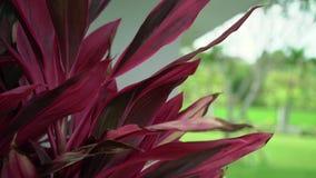 Το τροπικό κόκκινο φυτό βγάζει φύλλα απόθεμα βίντεο