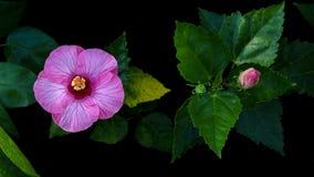 Το τροπικό λουλούδι, ρόδινα Hibiscus αυξήθηκε mallow ή τα κινέζικα αυξήθηκαν πνεύμα Στοκ εικόνα με δικαίωμα ελεύθερης χρήσης