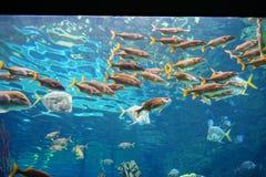 Το τροπικό ψάρι κολυμπά Στοκ εικόνα με δικαίωμα ελεύθερης χρήσης