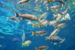 Το τροπικό ψάρι κολυμπά Στοκ Εικόνες