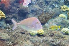 Το τροπικό ψάρι κολυμπά Στοκ Φωτογραφία