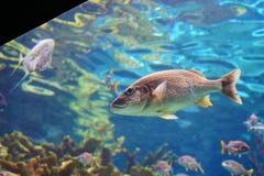 Το τροπικό ψάρι κολυμπά Στοκ φωτογραφίες με δικαίωμα ελεύθερης χρήσης