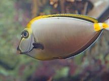 το τροπικό ψάρι με κολυμπά στις συγκρατημένες θάλασσες Στοκ Εικόνες