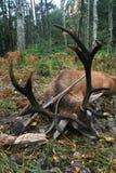 Το τρόπαιο των ευρωπαϊκών κόκκινων ελαφιών με τα κέρατα μετά από να κυνηγήσει με ένα τουφέκι Στοκ εικόνα με δικαίωμα ελεύθερης χρήσης