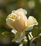 Το τσάι λουλουδιών αυξήθηκε Στοκ φωτογραφία με δικαίωμα ελεύθερης χρήσης