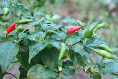 Το τσίλι είναι ένα λαχανικό με τις πικάντικες γεύσεις, κόκκινο, πράσινο, φυσικό υπόβαθρο στοκ φωτογραφίες