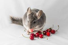 Το τσιντσιλά τρώει τα κεράσια Στοκ Εικόνα