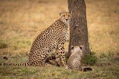 Το τσιτάχ κάθεται με cub της εκτός από το δέντρο στοκ εικόνα