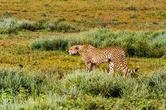 Το τσιτάχ σέρνεται επάνω serengeti Τανζανία Στοκ Φωτογραφίες