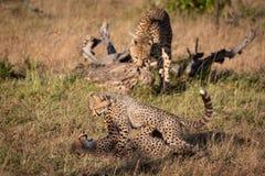 Το τσιτάχ σπρώχνει με τη μουσούδα cub καθώς δύο άλλοι παίζουν στοκ φωτογραφίες