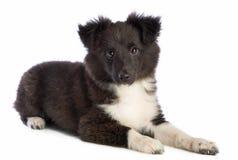 Το τσοπανόσκυλο Shetland βρίσκεται και κοιτάζοντας μπροστά στοκ φωτογραφία