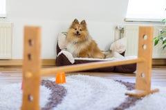 Το τσοπανόσκυλο Shetland κάθεται μπροστά από μια σειρά μαθημάτων obstracle στο σπίτι στοκ φωτογραφία
