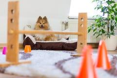 Το τσοπανόσκυλο Shetland κάθεται μπροστά από μια σειρά μαθημάτων obstracle στο σπίτι στοκ φωτογραφίες με δικαίωμα ελεύθερης χρήσης