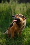 Το τσοπανόσκυλο βρίσκεται στον κήπο στοκ εικόνες με δικαίωμα ελεύθερης χρήσης