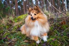 Το τσοπανόσκυλο Shetland βρίσκεται στη χλόη Στοκ φωτογραφία με δικαίωμα ελεύθερης χρήσης