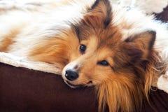 Το τσοπανόσκυλο Shetland βρίσκεται στο καλάθι σκυλιών Στοκ φωτογραφία με δικαίωμα ελεύθερης χρήσης