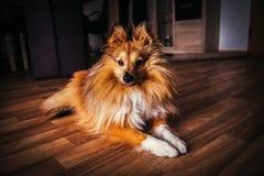 Το τσοπανόσκυλο Shetland εξετάζει τη κάμερα Στοκ φωτογραφία με δικαίωμα ελεύθερης χρήσης