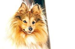 Το τσοπανόσκυλο Shetland κοιτάζει στη κάμερα Στοκ Εικόνες