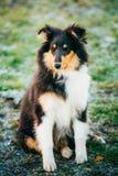 Το τσοπανόσκυλο Shetland, Sheltie, κουτάβι κόλλεϊ υπαίθριο Στοκ Εικόνες