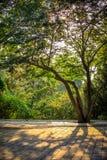 Το υγιές δέντρο πετά τις σκιές προς το τέλος του φωτός του ήλιου απογεύματος στα ομαλά τούβλα σε ένα πάρκο στο Πεκίνο Κίνα στοκ φωτογραφία