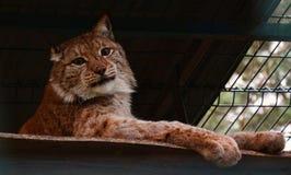 Το λυγξ στο ζωολογικό κήπο εξετάζει τη κάμερα από το κλουβί στοκ φωτογραφία με δικαίωμα ελεύθερης χρήσης