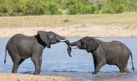 Το υγρό παιχνίδι ελεφάντων δύο στο νερό και χαιρετά το ένα το άλλο Στοκ φωτογραφία με δικαίωμα ελεύθερης χρήσης