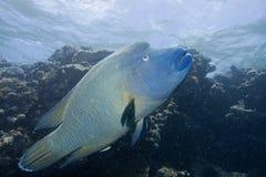 Το υποβρύχιο ψάρι στην Αυστραλία, αυτό το ψάρι είναι πολύ fruity αλλά φαίνεται εύγευστο Στοκ Εικόνες