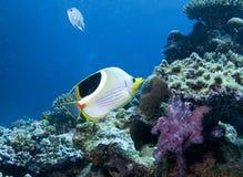 Το υποβρύχιο ψάρι στην Αυστραλία, αυτό το ψάρι είναι πολύ fruity αλλά φαίνεται εύγευστο Στοκ Φωτογραφία