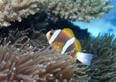 Το υποβρύχιο ψάρι στην Αυστραλία, αυτό το ψάρι είναι πολύ fruity αλλά φαίνεται εύγευστο Στοκ Φωτογραφίες
