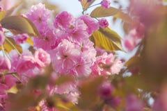 Το υπόβαθρο άνοιξη με ροζ ανθών sakura κερασιών ανθίσματος το ιαπωνικό ασιατικό βλαστάνει με τη μαλακή μαλακή εστίαση φωτός του ή Στοκ φωτογραφία με δικαίωμα ελεύθερης χρήσης