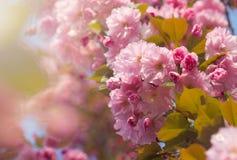 Το υπόβαθρο άνοιξη με ροζ ανθών sakura κερασιών ανθίσματος το ιαπωνικό ασιατικό βλαστάνει με τη μαλακή μαλακή εστίαση φωτός του ή Στοκ Φωτογραφία