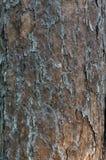 Το υπόβαθρο είναι φλοιός πεύκων του δέντρου πεύκων Χρήση εικόνων για τη σύσταση υποβάθρου, σχέδιο, διαφήμιση στοκ φωτογραφία με δικαίωμα ελεύθερης χρήσης