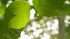 Το υπόβαθρο είναι δύο φύλλα και sunrays απόθεμα βίντεο