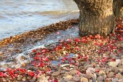 Το υπόβαθρο με τη σύσταση των πετρών και τα λουλούδια του ceibo αφορά το riverbank στοκ φωτογραφίες