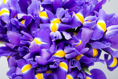 Το υπόβαθρο λουλουδιών της Iris, αναπηδά floral patern Στοκ φωτογραφίες με δικαίωμα ελεύθερης χρήσης